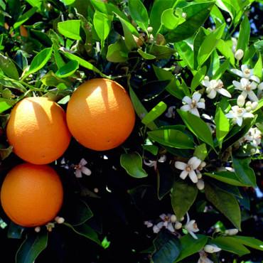 la-fleur-d-oranger-3680858gelln_2041